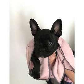hermosos perritos cachorros de 49 dias certificados bulldog frances