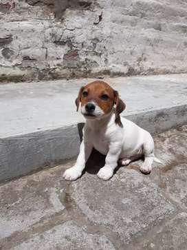 Dos cachorros machos Jack Rusell Terrier