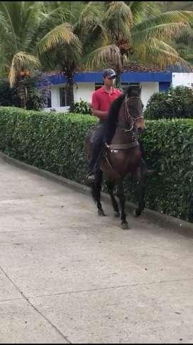 Vendo caballo paso fino