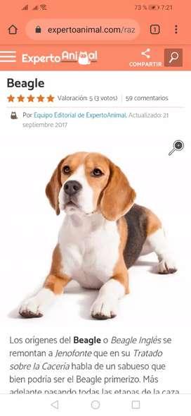 Se nesecita raza de perro WEAGLE macho para  apareamiento con hembra WEAGLE ORIGINAL.. es un negocio