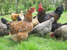 Huevos criollos y campesinos.Pollos y gallinas criollas para sancochos