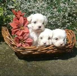 Disponibles Hermosos Cachorros Maltés