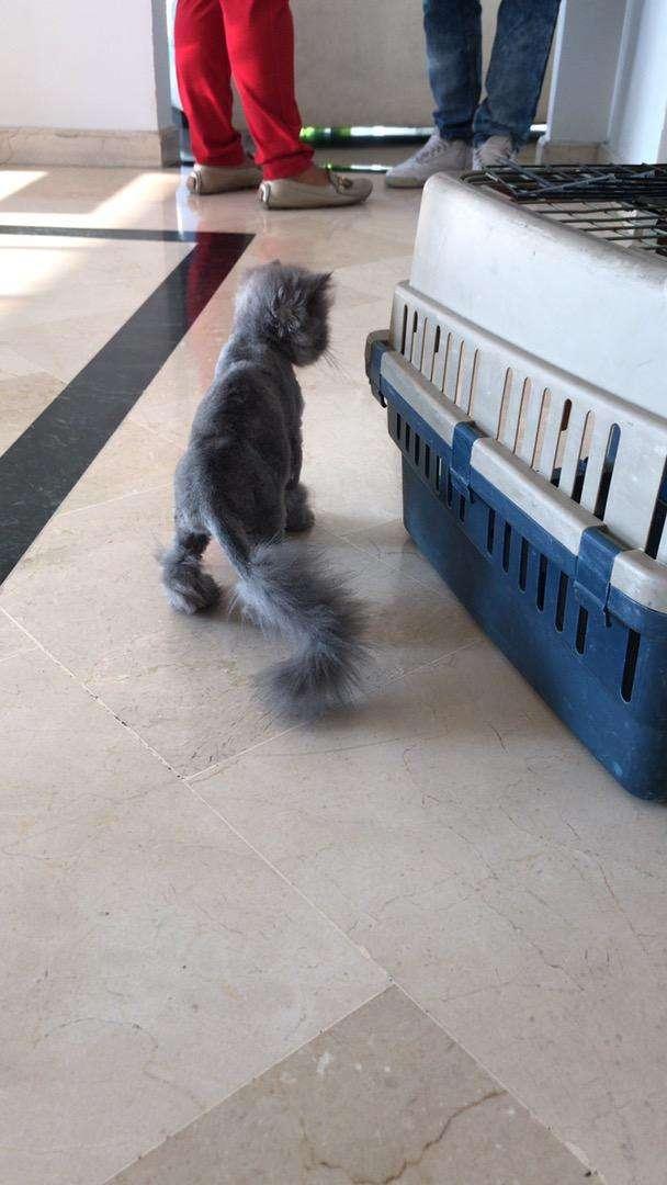 Vendo gatos persa 0