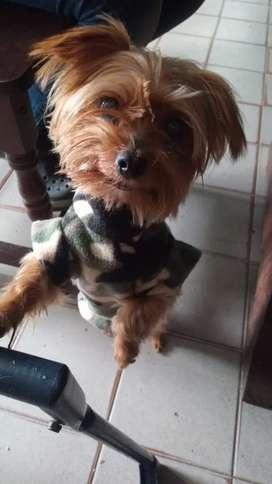 Perro Yorkshire para servicio machito