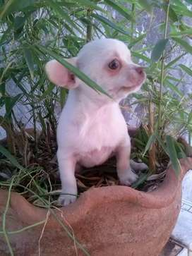 Chihuahuas mini