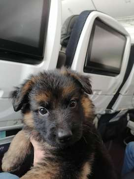 Vendo cachorro de 2 meses con todas las vacunas al día pastor alemán pelo largo