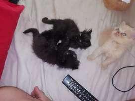 Se vende gatos persas