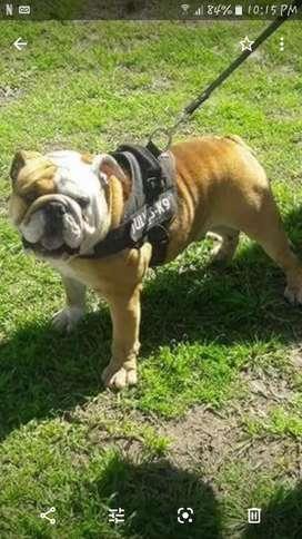 Bull dog inglés