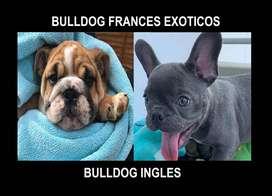LOS MEJORES Bulldog ingles y Frances Seleccionados con 55 dias