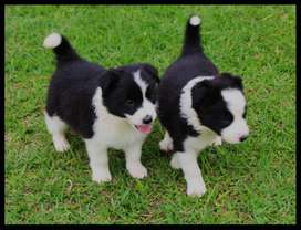 Border Collie Cachorros