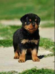 Cachorros rottweiler de mucho músculo excelente linea de crianza súper bien cuidados