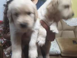 ADORABLES CACHORROS GOLDEN RETRIEVER