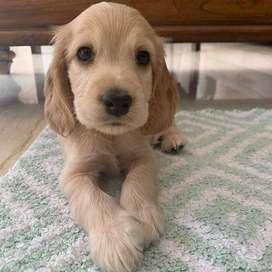 espectaculares y excelente compañia cachorritos de 51 dias de vida