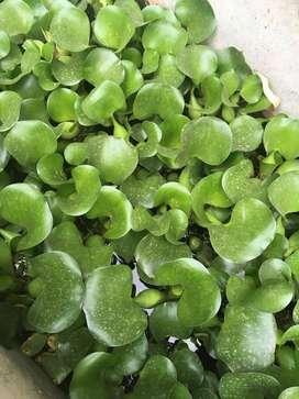 jacinto de agua planta acuatica