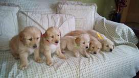 Cachorros golden retriever padres con pedigree