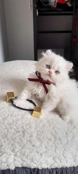 gata persa blanca de ojos azules