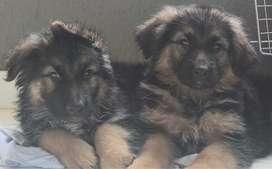 Cachorros Adiestrados de Pastor Alemán