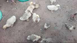 Venta de patos pequeños y pollos criollos