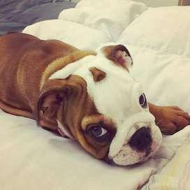 lindos bulldog ingles de 56 dias vacunados y desparasitados envios nacionales