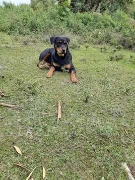 Rottweiler 16 meses