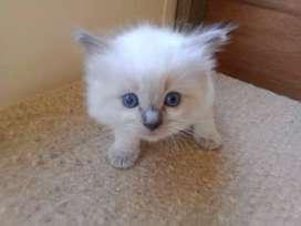 Gatos Ragdoll  Cariñosos