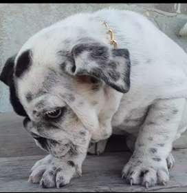 Bulldog ingles exotica