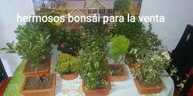 Hermosos bonsái hay de diferentes precios