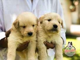 Espectaculares Cachorros Golden Retriever Disponibles