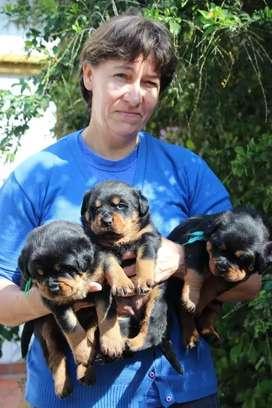 Rottweiler  machitos y hembras  disponibilidad puros y finos