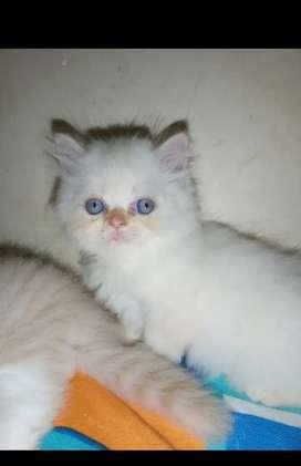 Hermosos Gaticos Persas