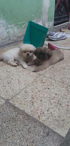 Cachorros machos pekinés