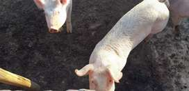Cerdos - Gorrinos