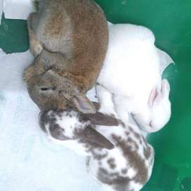 Conejos minirex