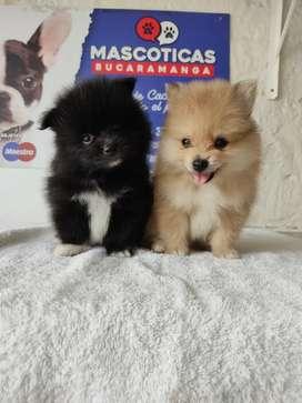 Cositas bellos Pomeranias mini