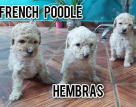French poodle toy