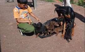Cachorros doberman en Cajamarca