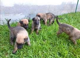 PASTOR BELGA CARA ANCHE, LINEA AMERICANA FULL GENETICA Tenemos los mas bello cachorro con garantia de pureza 100%, niñas
