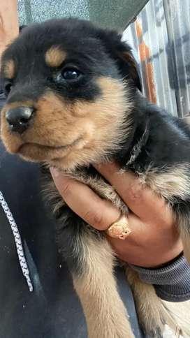Rotweiler cachorros