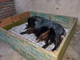 Cachorros Deustch Kurzhaar