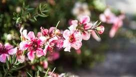 manuka Leptospermum scoparium bio planta