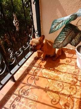 cachorro bulldog francés 7 meses
