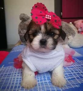 Se venden perros Shitzu