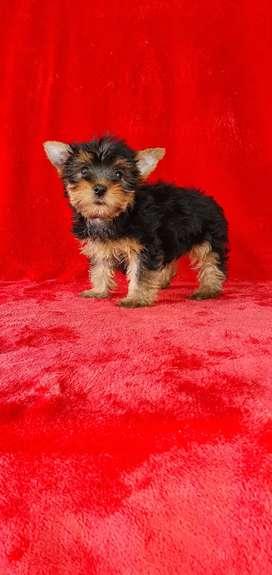 Panshi yorkshire terrier mini