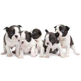 Boston terrier macho