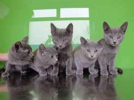 Vendo gatos azul ruso
