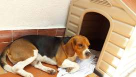 Beagle en perfectas condiciones, tres años, raza pura