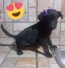Labradores Retrievers Hembras negras