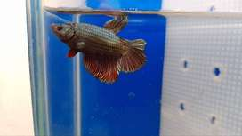 Betta splendens hmpk dragon Disponibles