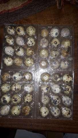 Huevos de Codorniz Fertil