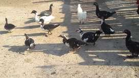 cambio patos por gallinas